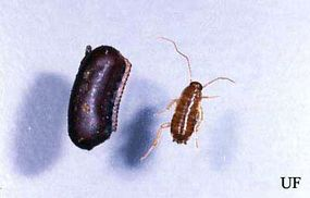 Oootheca and nymph of the oriental cockroach
