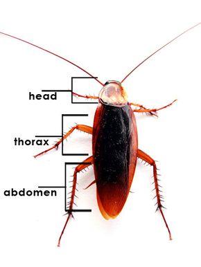 Cockroach Anatomy
