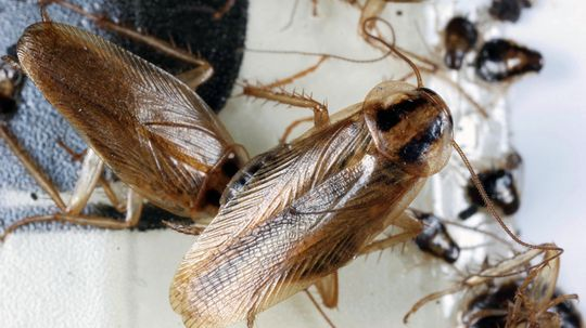 We're Losing the Chemical War on Cockroaches