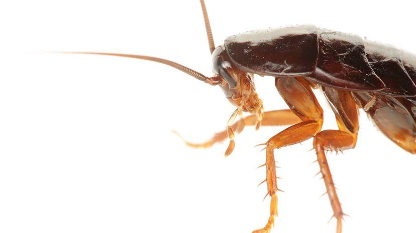 cockroach, medicine