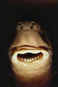Get a load of that grin! Cookiecutter sharks leave cookie-shaped bite mark in their victims.