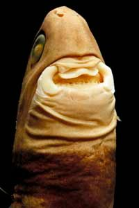 A cookiecutter shark's flabby lips create suction to inflict its powerful bite on attacking fish.