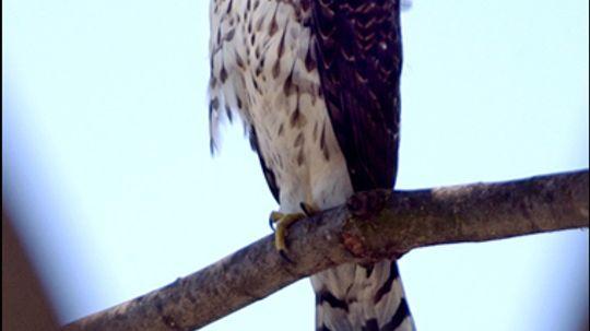 Wild Birds: Cooper's Hawk