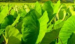 """Colocasia, which is also known as """"Elephant-ear"""" is easily recognized by its large leaves. """