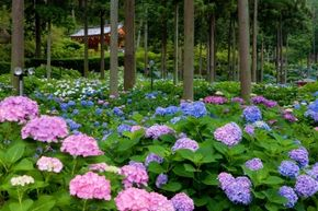 The color of hydrangeas varies depending on the pH of the soil they're planted in.