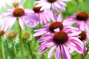 The echinacea flower has long been associated with cold treatment.