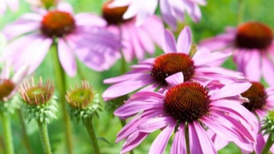 Using Echinacea to Treat Colds