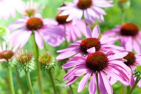 The echinacea flower has long been associated with cold treatment, but its actual benefits are debatable.