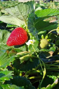Community supported agriculture membership will bring ripe berries to your door -- in season of course.