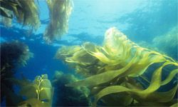 People harvest kelp for the emulsifier algin that's in beer, ice cream and toothpaste, among other items.
