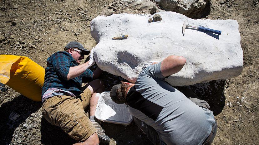 tyrannosaur skeleton encased in plaster