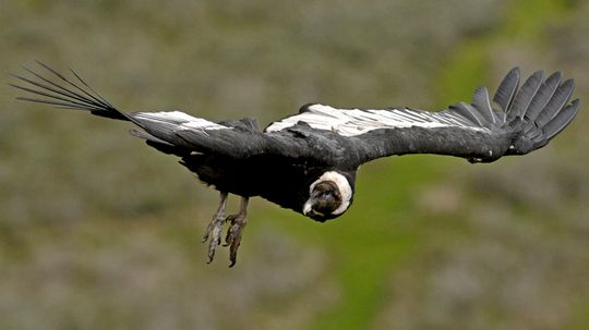 The Andean Condor: 100 Miles, 5 Hours, 0 Flaps of Its Wings