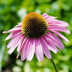 Echinacea in the Sun is also known as purple coneflower.
