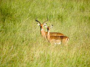 Kenya, Lewa Conservancy, two Impala standing on savannah
