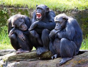 Chimps, like humans, can be susceptible to contagious yawning.