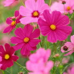 Cosmos are great for the beginning gardener -- they grow fast and are hardy enough to tolerate an early frost and the summer's blazing sun.