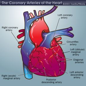 These are the arteries responsible for supplying your heart with blood.