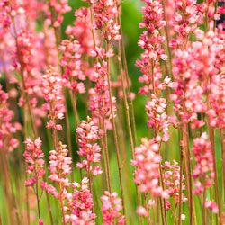 Coral bells work beautifully in a northeastern garden. See more pictures of perennial flowers.