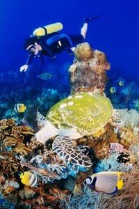 A diver in the Great Barrier Reef Marine Park encounters a sea turtle.
