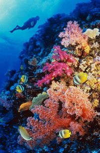 This vibrant coral is one the many types growing on the coral reef wall.