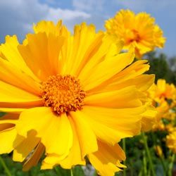 Many coreopsis bloom from early summer through late fall.