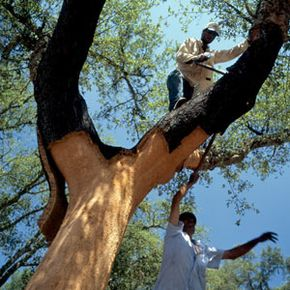 The bark from cork oak can be stripped about every 10 years without the trees having to be cut down. See more green living pictures.