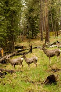 Traditional deer counts rely on the human eye.