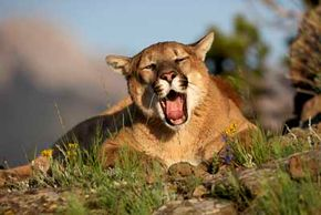 A Felis concolor by any other name. Cougars are also known as mountain lions, panthers, pumas and more than three dozen other names. See more big cat pictures.