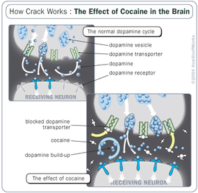 Crack cocaine targets poor urban areas and carries incredibly high addiction rates. Learn what crack cocaine is and how it affects the body and brain.