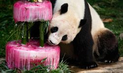Giant panda Tai Shan gets ready for a bite of birthday cake -- plus visible bamboo supports -- at the National Zoo in Washington, D.C.