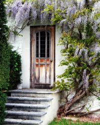 Wisteria is also called Blue Rain because of its cascading effect.