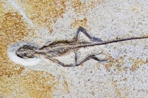 This little lizard fossil (Homeosaurus maximiliani) turned up in the Solnhofen Limestone Formation at Rupertsbuch, Germany.