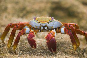 A Sally Lightfoot crab cruises along Ecuador's Bartolome Island.