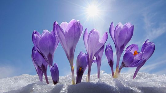 How to Grow and Care for Crocuses, Spring's Early Bloomers