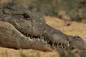 A captive crocodile appears to be shedding some tears. Have you ever found tears welling up in your eyes even when you're not sad, maybe when you've eaten some spicy food or were having a sneezing attack?