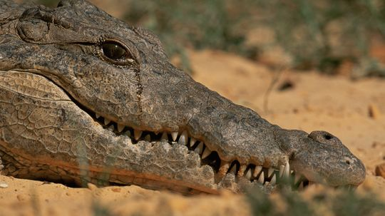 What's the deal with crocodile tears?
