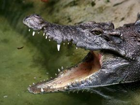 There are 23 species in crocodile family. See more pictures of reptiles.
