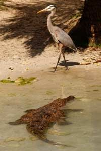 Crocodiles are more closely related to birds than lizards.