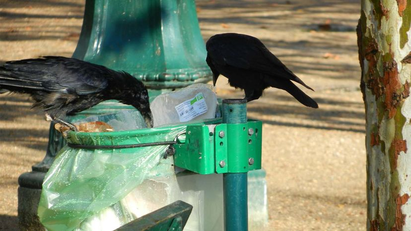 crows, trash