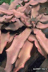 The bromeliad Cryptanthus bivittatus is also known as a star-fish plant.