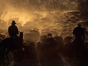 Two cowboys round up cattle on a cattle drive on the Double Mountain River Ranch outside Raton, Texas.
