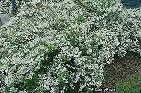 Dwarf deutzia blooms, but it is classified as a shrub.