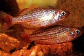 Dwarf Rainbowfish -- melanotaenia maccullochi See more aquarium fish pictures.