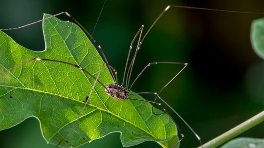 Daddy Longlegs Aren't (Necessarily) Spiders; So What Are They?