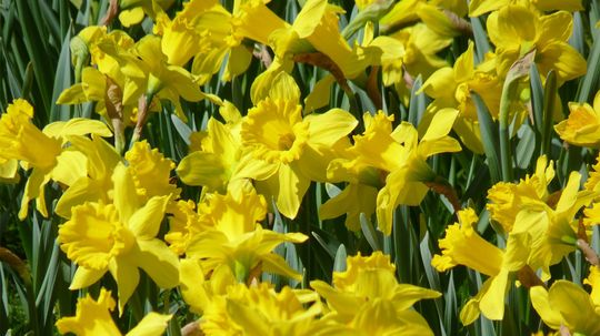 Delightful Daffodils Are Super Easy to Grow. Here's How