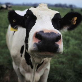 Mad cow disease, or bovine spongiform encephalopathy (BSE), is a fatal brain disorder that occurs in cattle.