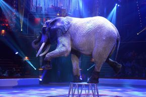Elephant acts have created many controversies surrounding animal cruelty and human safety.
