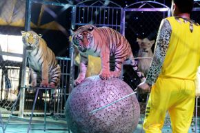 The tigers and lions that perform in circuses may be trained, but they are still dangerous.