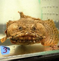 A fish ready for microgravity tests. See more fish pictures.
