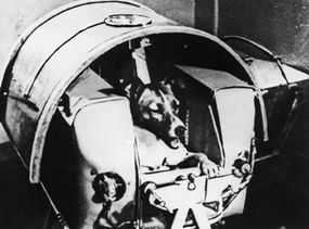Laika in Sputnik II before takeoff. Her last meal on the flight was poisoned to prevent her dying a slow death of starvation. However, she died of panic and suffocation within hours of takeoff.